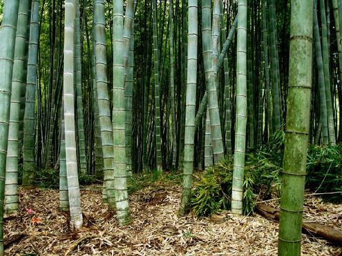 Join the Gulf Coast Chapter of the American Bamboo Society to see this magnificent Moso Join the Gulf Coast Chapter of the American Bamboo Society to see this magnificent Moso Grove at Avery Island, Louisiana
